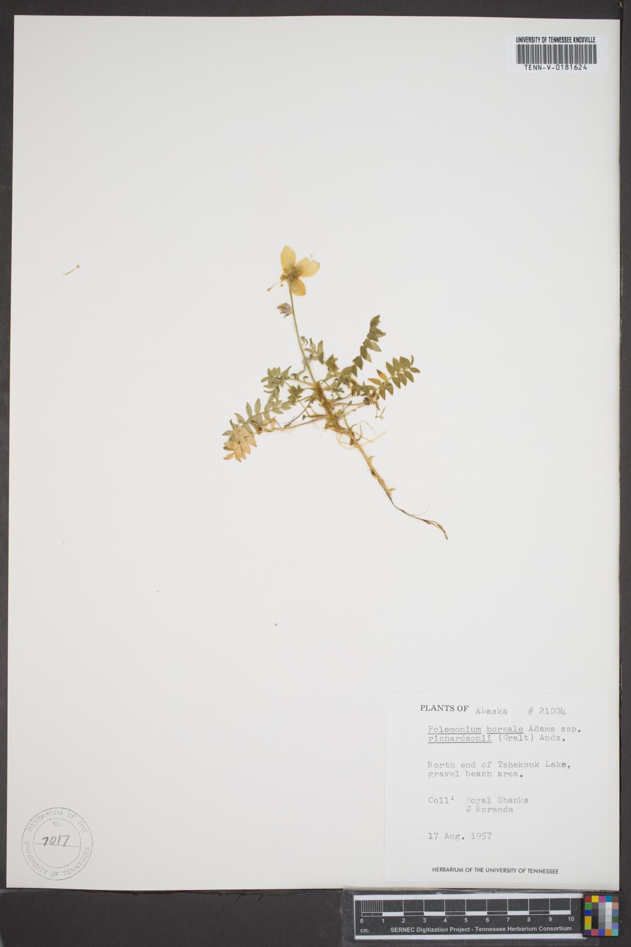 Polemonium boreale subsp. richardsonii image