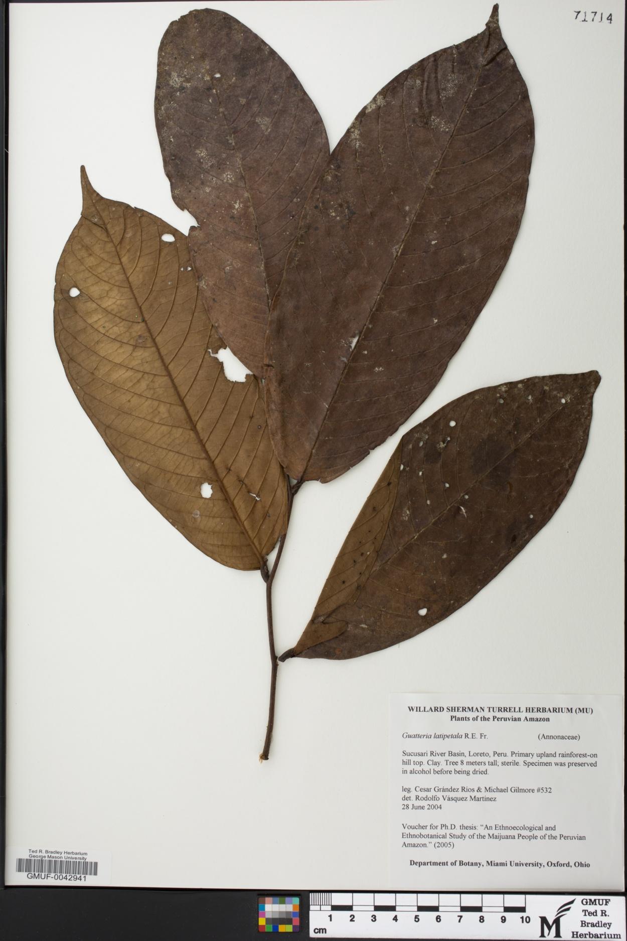 Guatteria latipetala image
