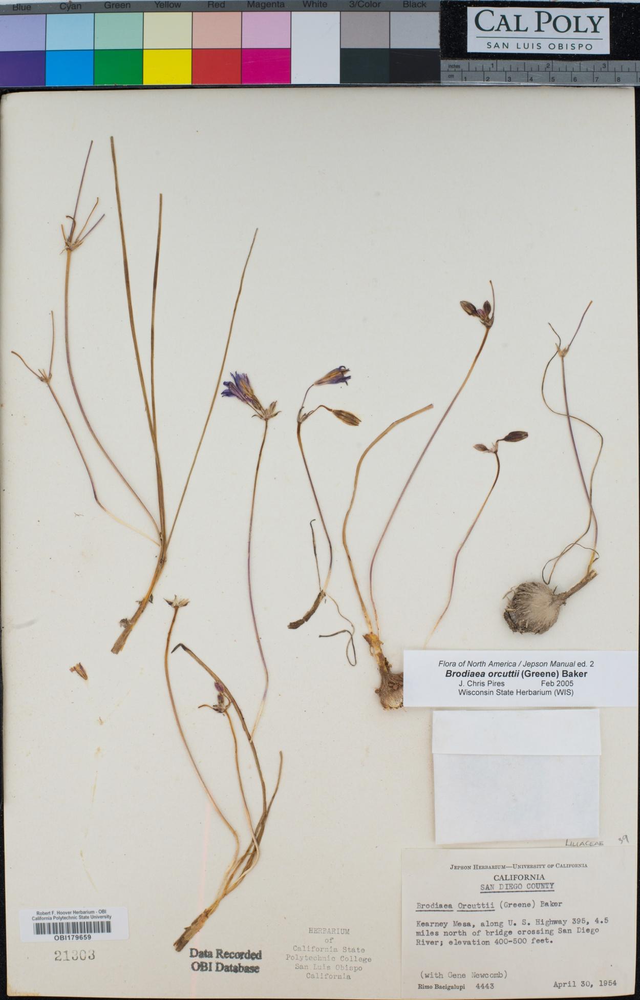 Brodiaea orcuttii image