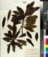Image of Coprosma longifolia