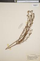 Image of Hypericum sphaerocarpum