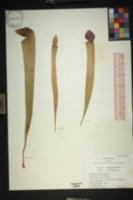 Image of Sarracenia x rehderi