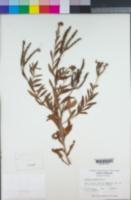 Image of Verbena carnea