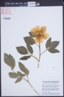 Image of Paeonia cambessedesii