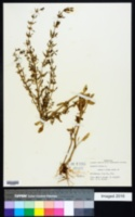Scoparia dulcis image