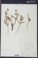 Euphorbia inundata image