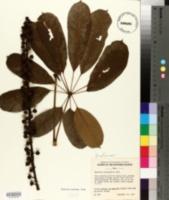 Brassaia actinophylla image