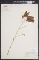 Smilax hugeri image
