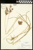 Juncus biflorus image