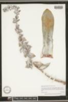 Dudleya pulverulenta image