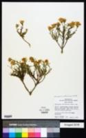 Ericameria suffruticosa image