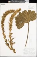 Gunnera killipiana image