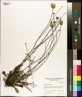 Hypochaeris radicata image