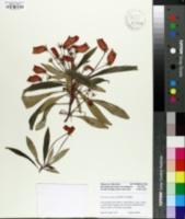 Seemannia sylvatica image