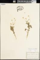 Perityle cuneata image