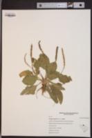 Plantago rugelii var. rugelii image
