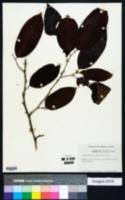 Image of Chrysophyllum argenteum