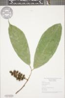 Image of Sorocea pubivena