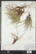Carex tonsa image