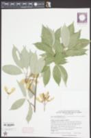 Image of Acer coriaceifolium
