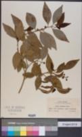Image of Citrus tachibana