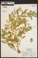 Chenopodium multifidum image