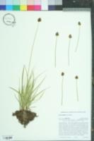 Carex jonesii image
