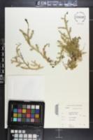 Image of Lycopodium affine