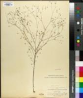 Image of Linum spergulinum