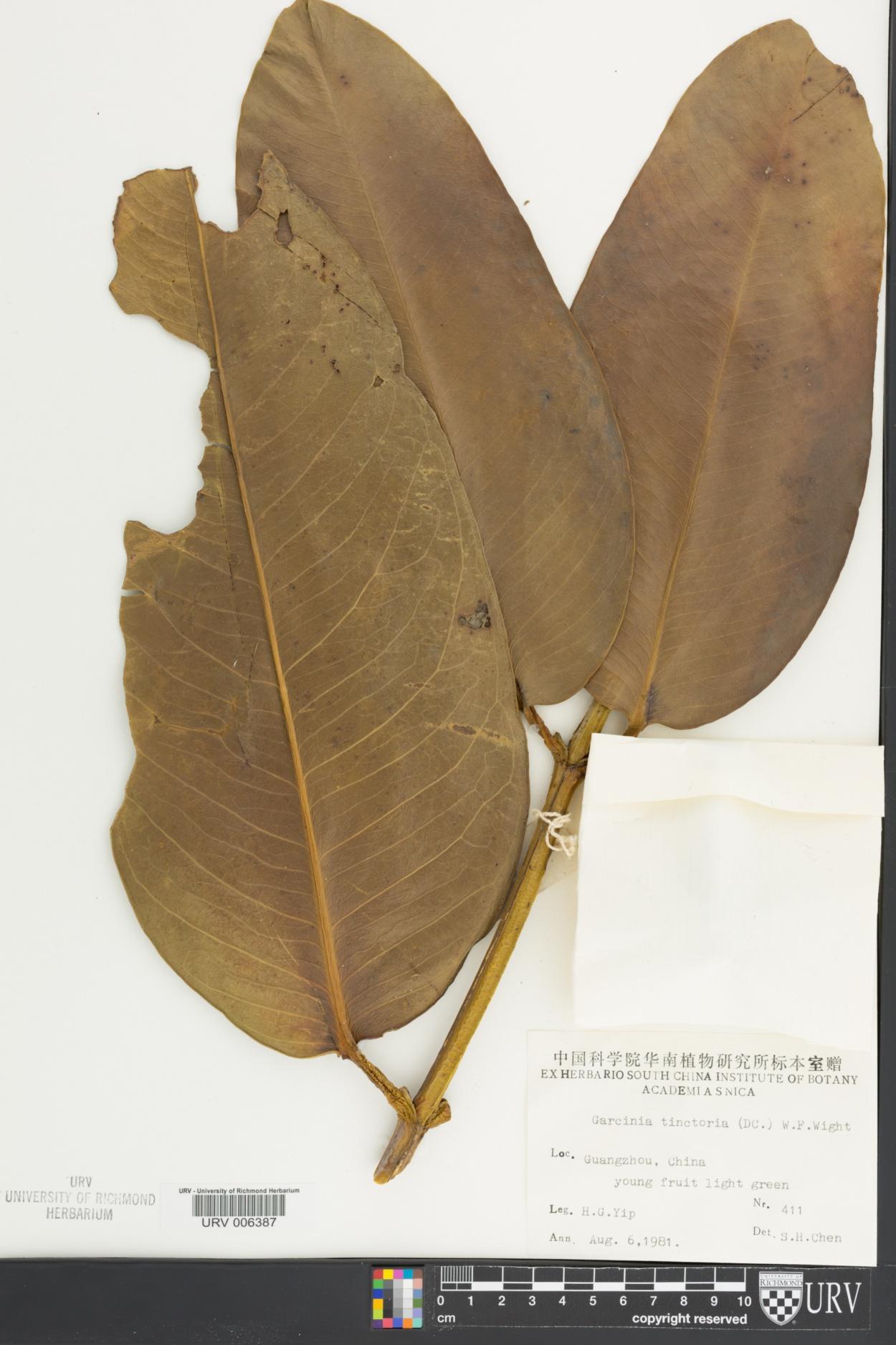 Garcinia xanthochymus image