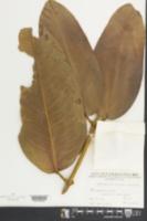 Image of Garcinia xanthochymus