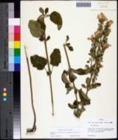 Image of Scutellaria mellichampii