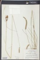 Ctenium aromaticum image