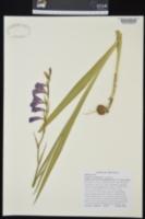 Gladiolus communis image