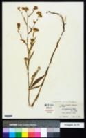 Image of Symphyotrichum jessicae