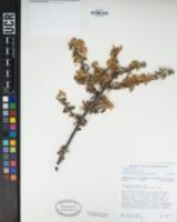 Ceanothus greggii image