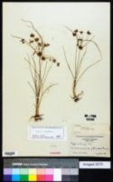 Cyperus grayi image
