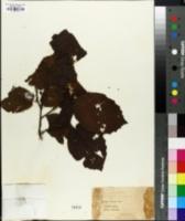 Image of Corylus maxima