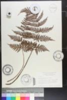 Polystichum hispidum image