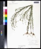 Linum medium image