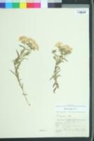 Phlox amoena image