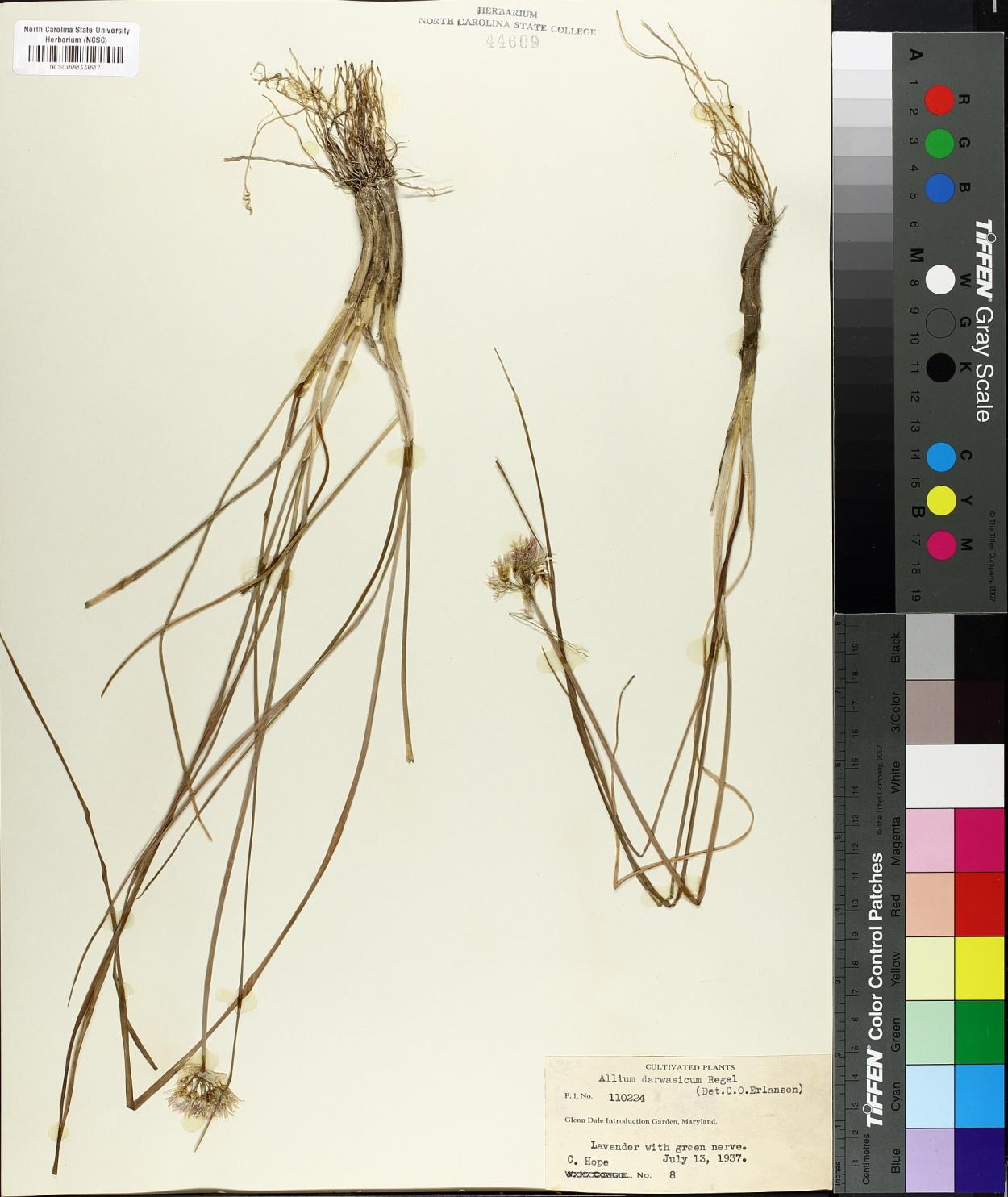 Allium darwasicum image