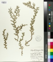 Image of Selaginella boninensis