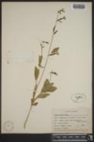 Clarkia elegans image