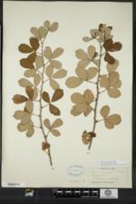 Rubus cuneifolius image