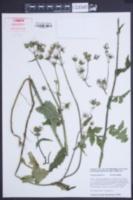 Sonchus palustris image