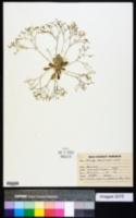 Mollugo nudicaulis image