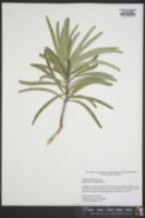 Image of Phyllanthus epiphyllanthus