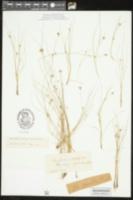 Image of Rhynchospora tenerrima