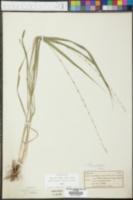Andropogon virginicus var. virginicus image